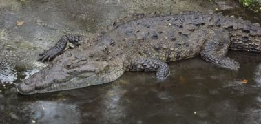 American Crocodile (Crocodylus acutus), one of two extant species of crocodylians that currently inhabits Panama. Sometimes they can be spotted basking on the shores of and swimming in the Panama Canal. Photo taken by E. Whiting at the St. Augustine Alligator Farm (Florida, USA) in 2012.