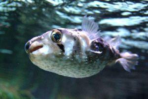 Un pez erizo moderno, Diodon nicthemerus. Foto cortesía de Mikkel Elbech.