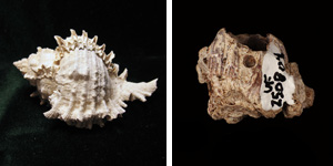 The shell of the modern muricid gastropod Murex globusus (left) and a fossil barnacle with an incomplete drill hole from the Armuelles Formation of Panama. (M. globusus photo courtesy of Kevmin, barnacle photo excerpted from Klompmaker et al. 2015)
