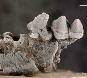New species of a small mammal from Miocene sediments along the Panama Canal. Lower jaw with two teeth of an insectivorous bat. The scales are 1 millimeter. © Photo by Aldo Rincon.