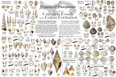 Gatun Formation fossil poster