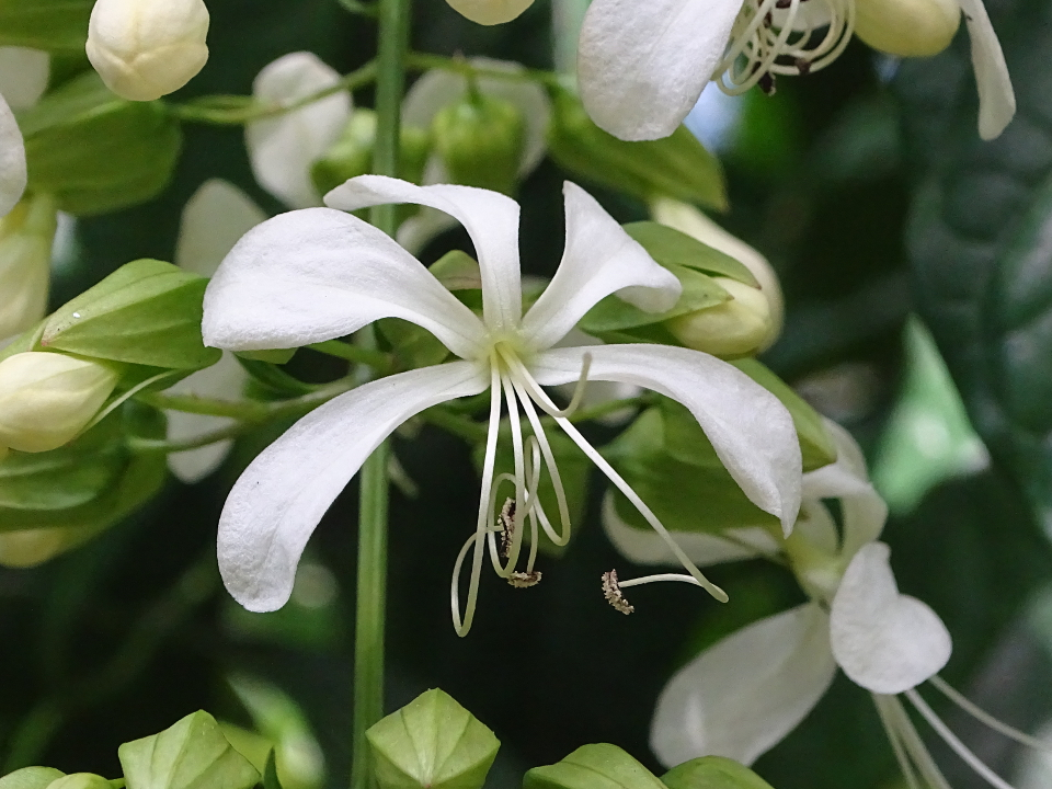 Clerodendrum, nodding flower