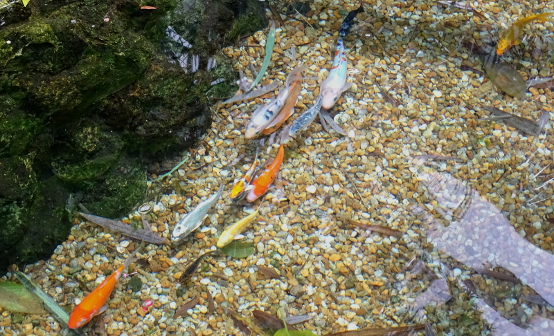 Koi school exploring 8-11-16