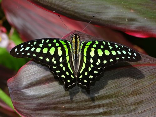 Tailed Jay, Graphium agamemnon