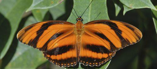 ID Guide: Orange Butterflies – Exhibits