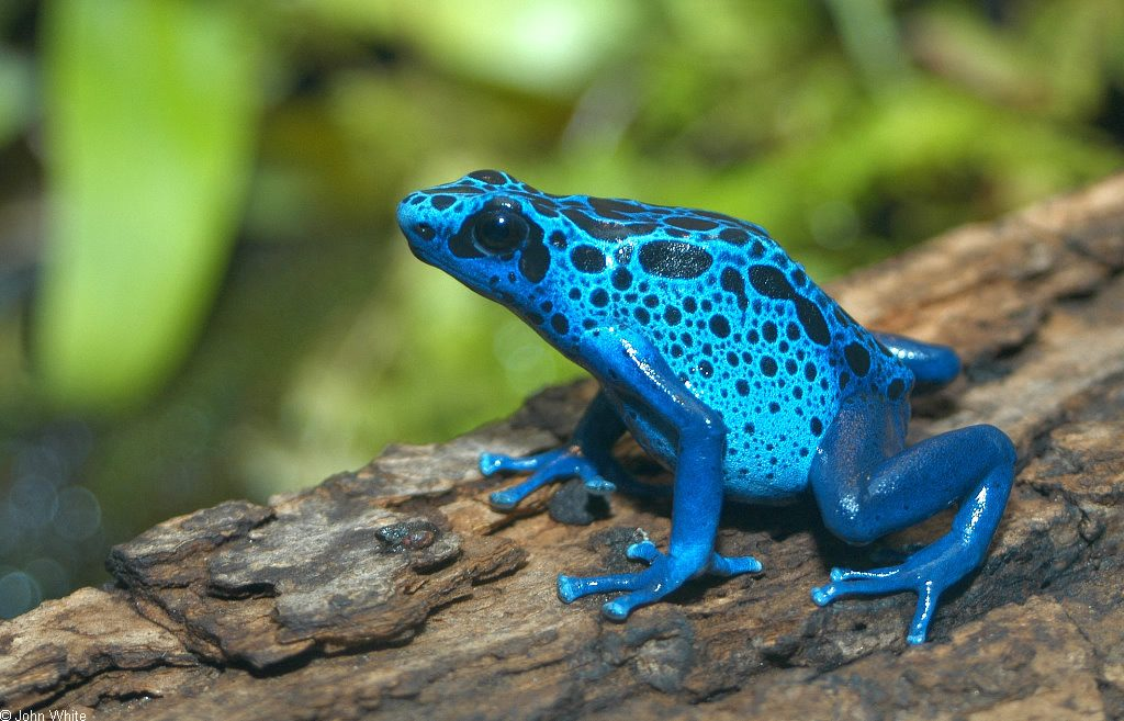 Blue Dyeing Poison Frog