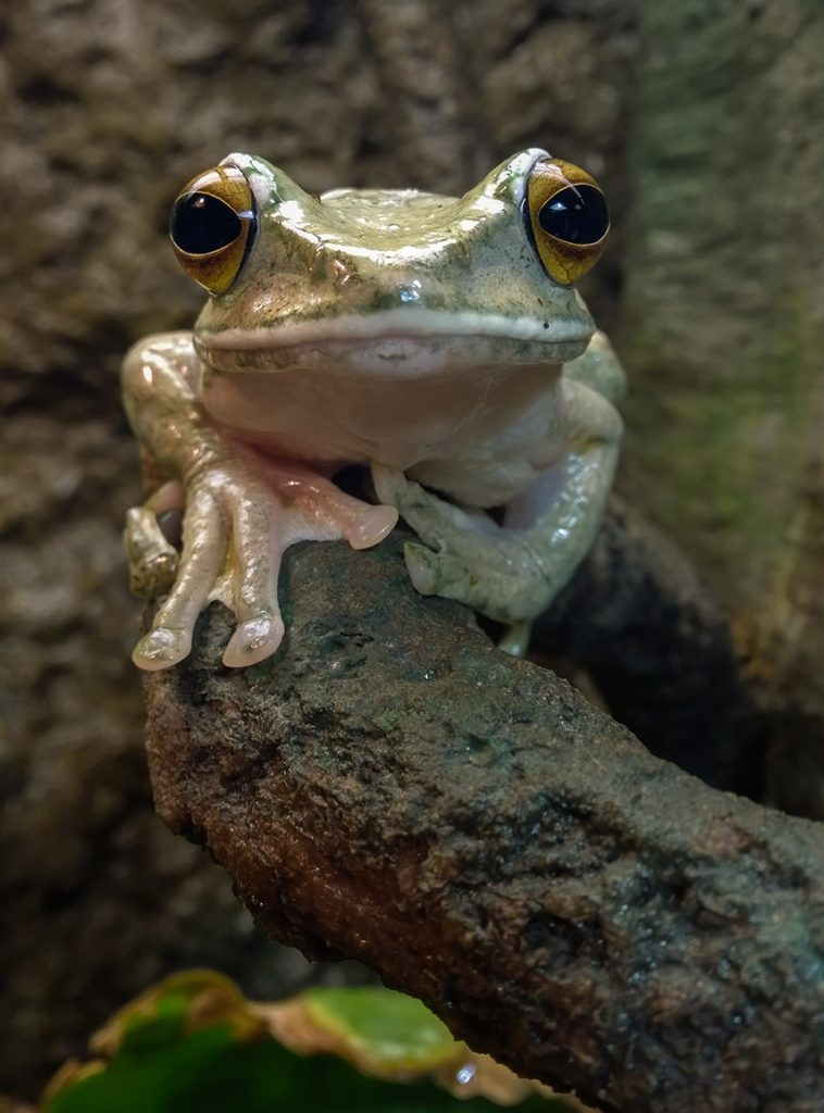 White-lipped-tree frog