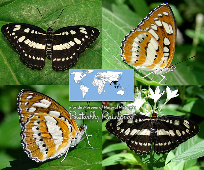 ID Guide: Brown Butterflies – Exhibits - photo#44