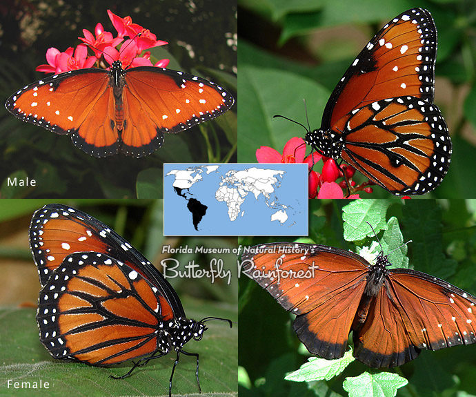 Id Guide  Orange Butterflies  U2013 Exhibits
