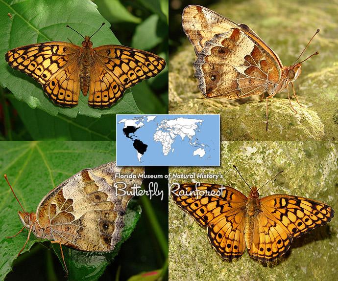 ID Guide: Orange Butterflies – Exhibits - photo#46