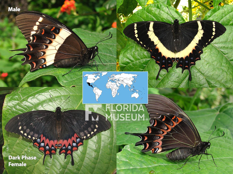 id guide  black butterflies  u2013 exhibits
