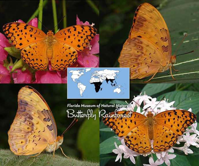 ID Guide: Orange Butterflies – Exhibits