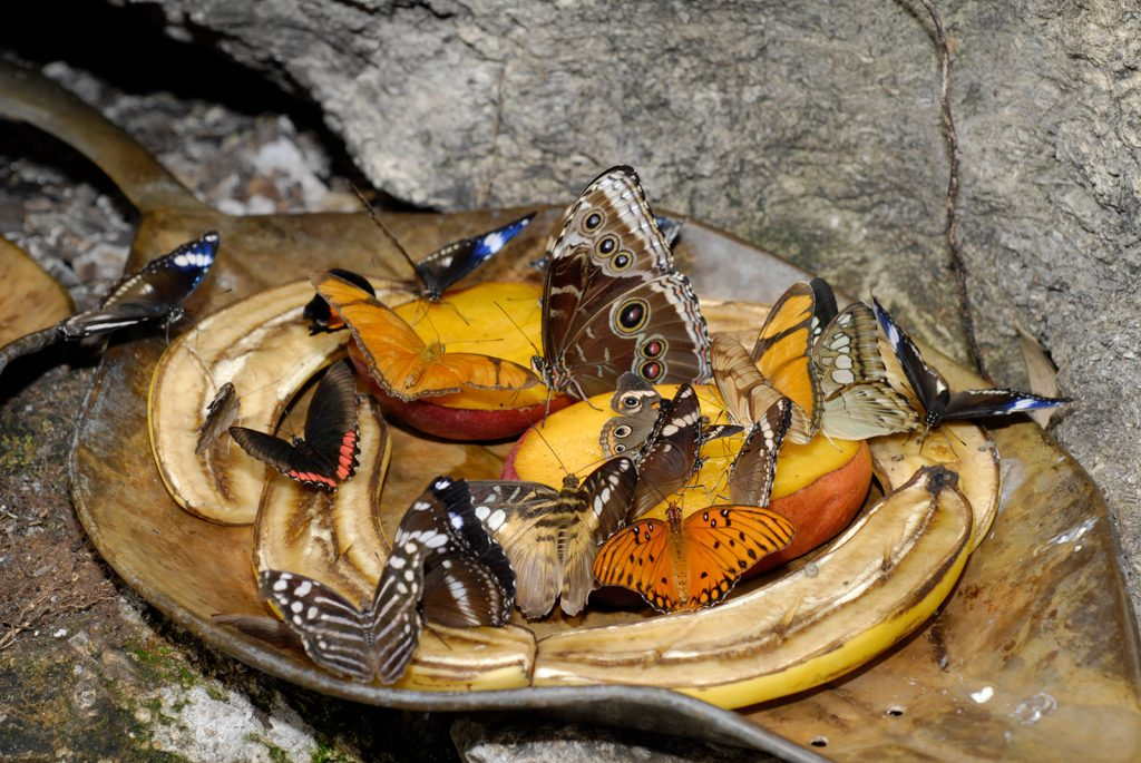 Butterflies on fruit