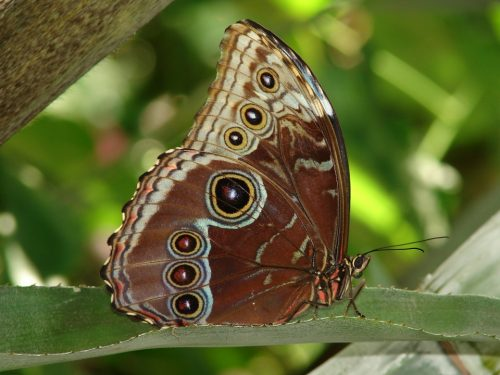 Blue Morpho butterfly, wings closed