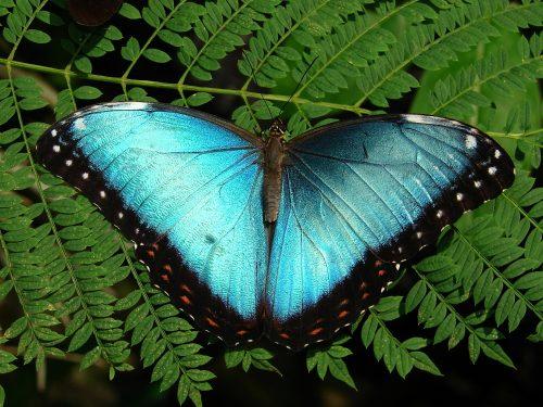 Blue Morpho butterfly, wings open