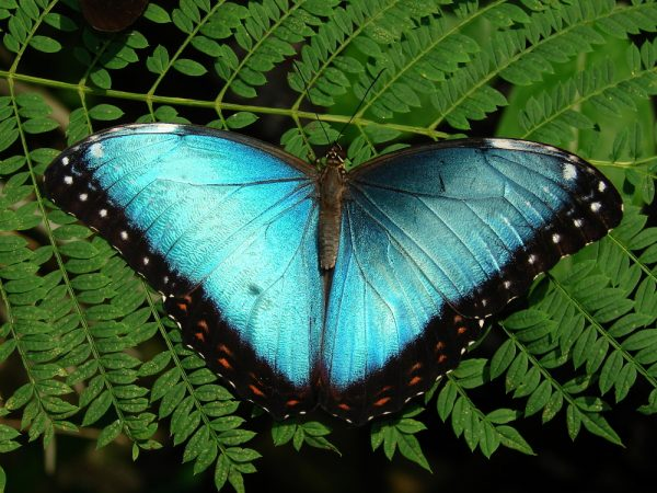 Blue Morpho butterfly, wings open