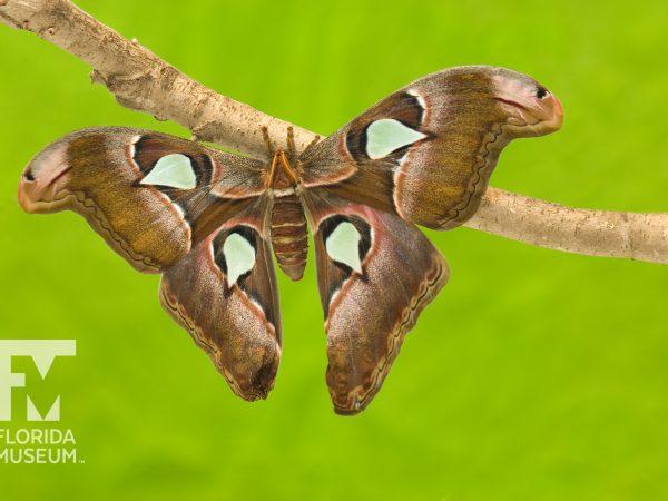 Atlas moth (Attacus atlas).