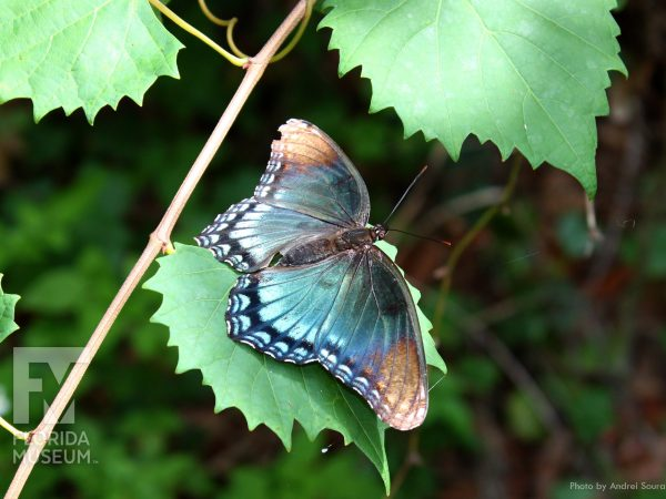 blue and brown wings from top