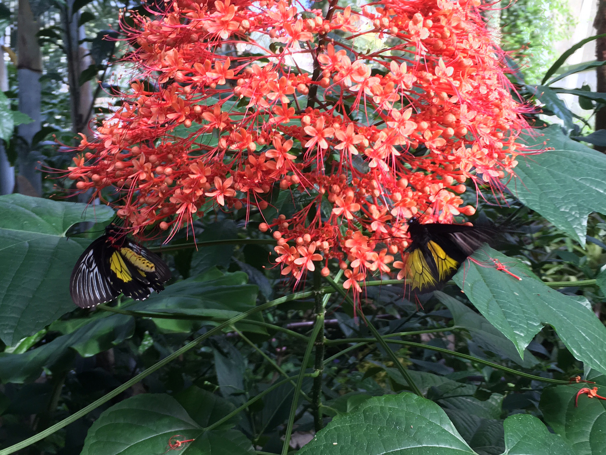 Pagoda flower exhibits birdwing on pagoda flower florida museum photo by paul ramey izmirmasajfo