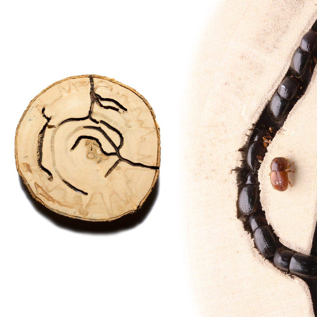 Euwallacea bark beetle