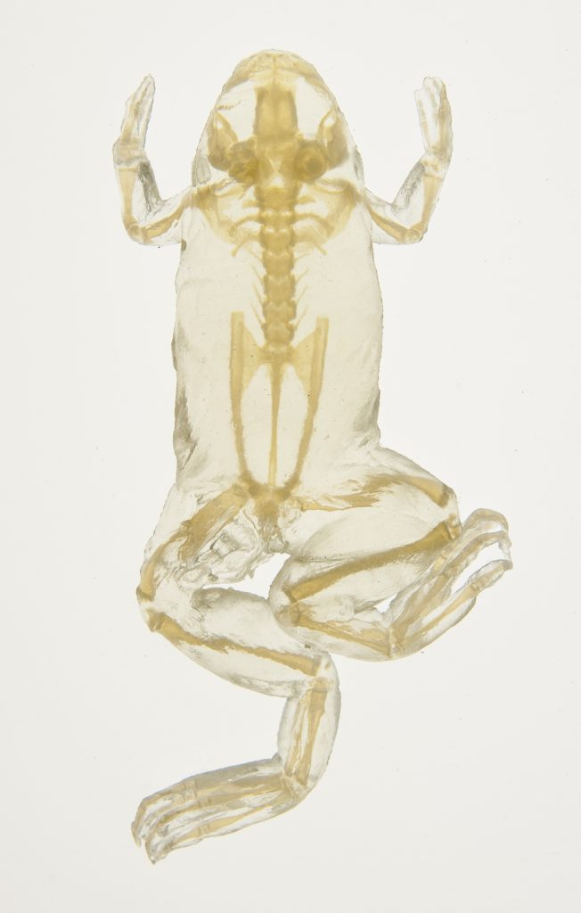 Micro-CT printed frog scan