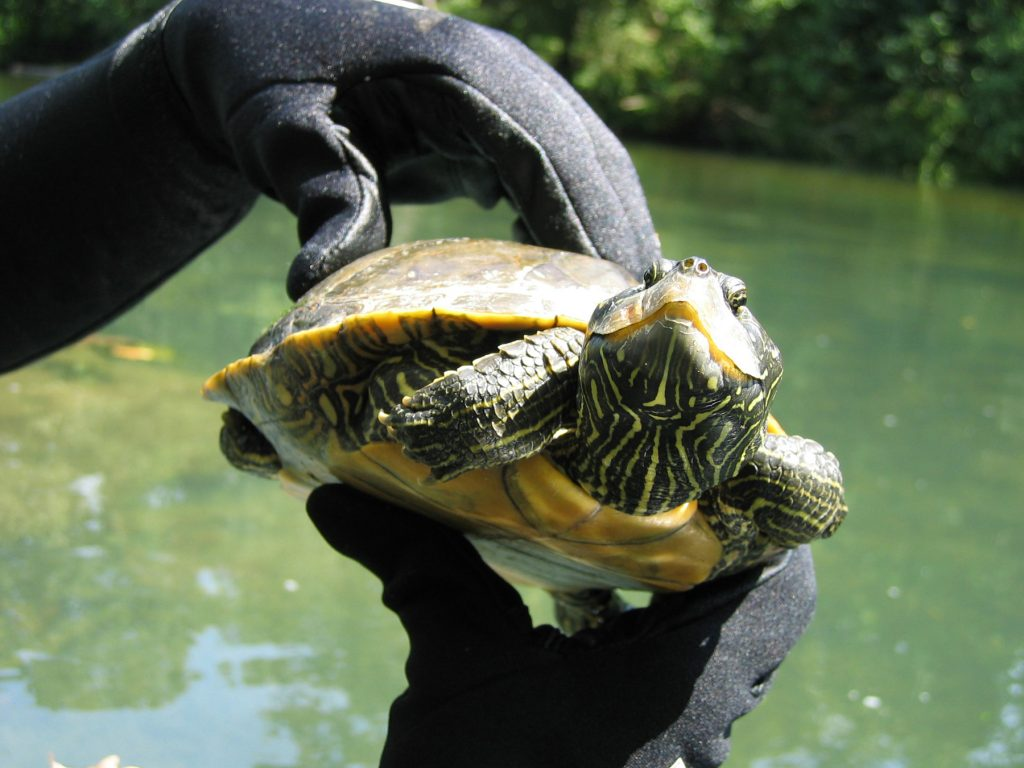 hands holding river turtle