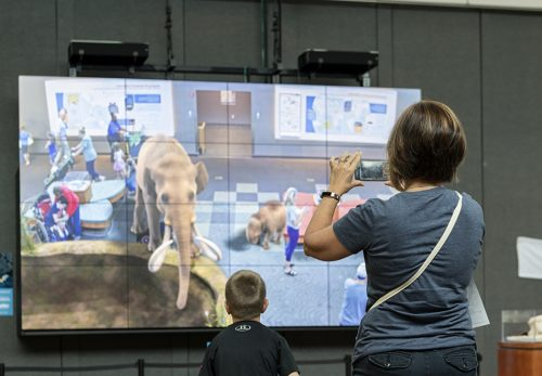 The augmented reality screen allows guests to 'pet' a mammoth and her calf, as well as a saber-tooth cat . ©Florida Museum photo by Kristen Grace