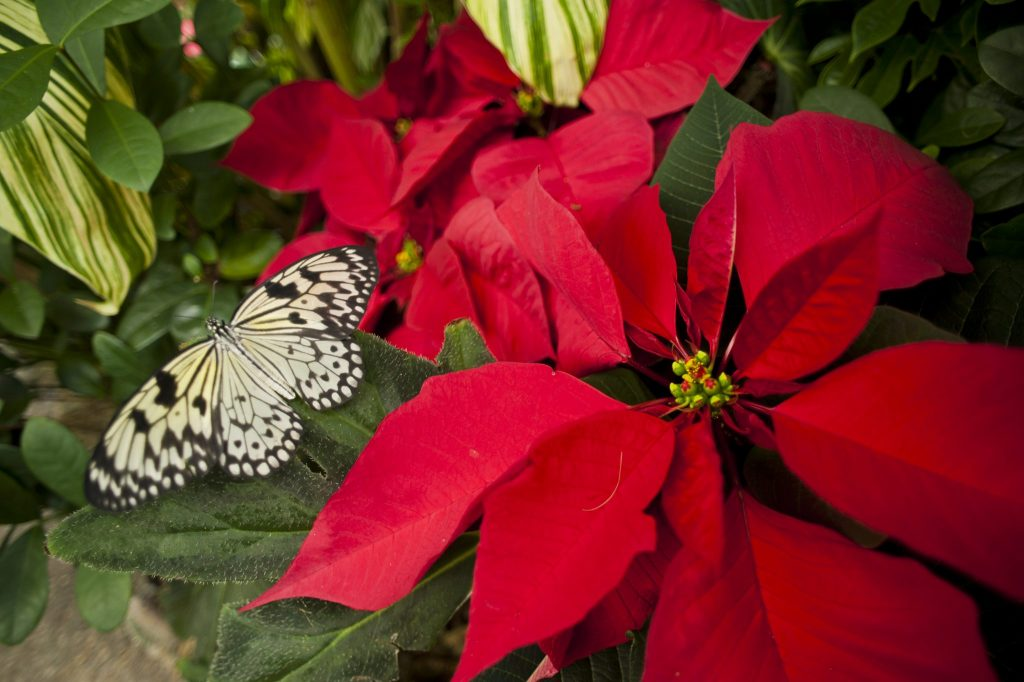 Poinsettias and Butterfly