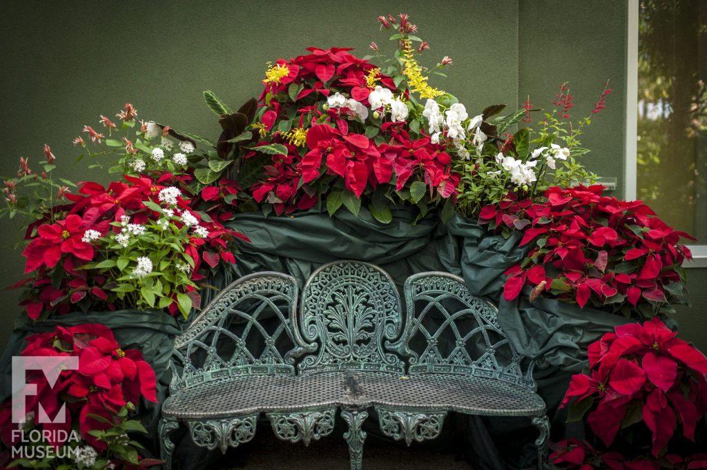 Poinsettias Display