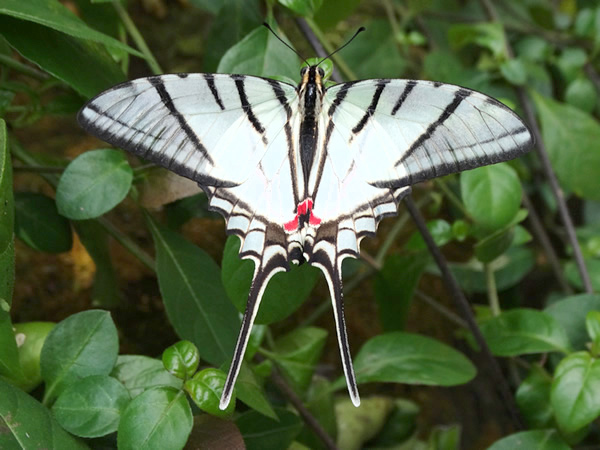 white butterfly with black stripes
