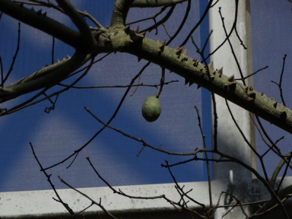 small green fruit in bare tree