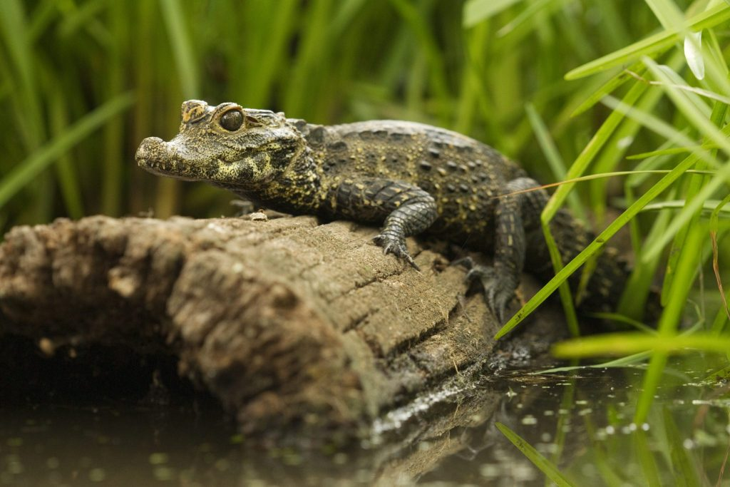 Dwarf crocodile on log