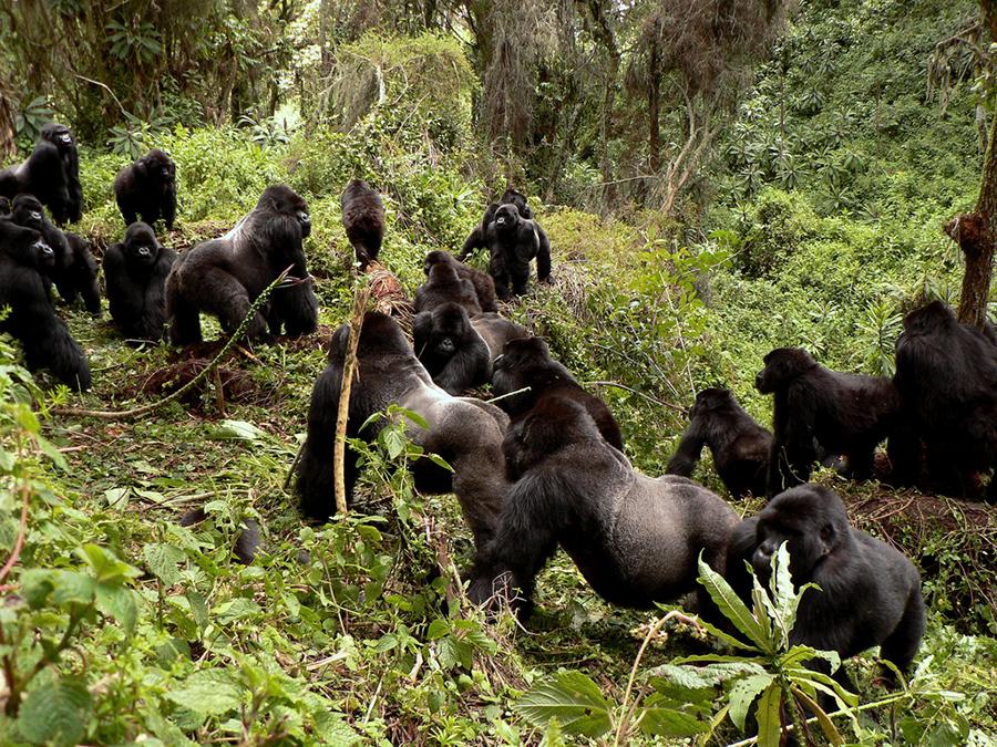 Group of gorillas