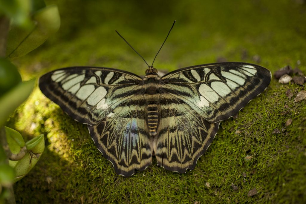 elaborately patterned black and tan butterfly posed on a mossy rock