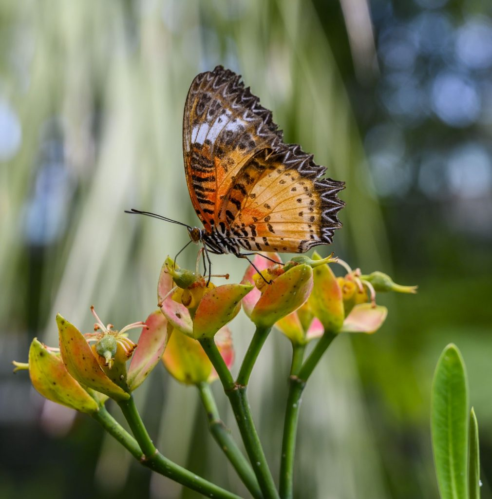 elaborately patterned orange and black butterfly feeding on a flower