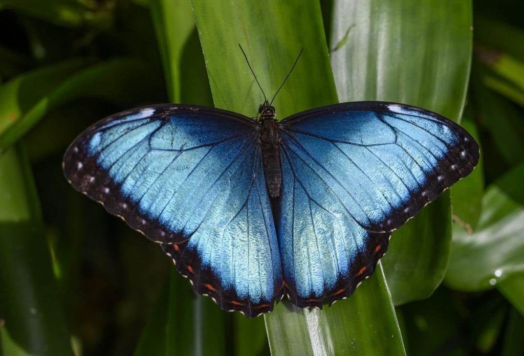 iridescent blue butterfly posed on a leaf