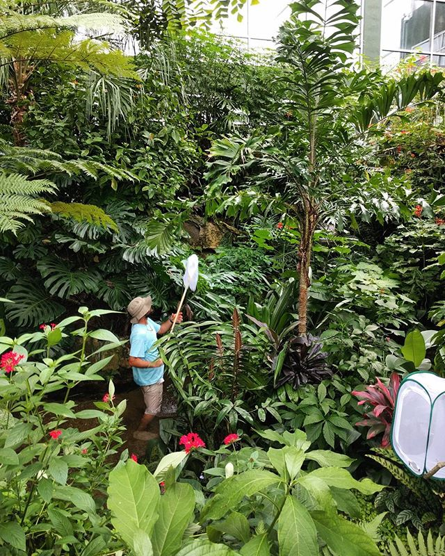 man collecting butterflies in the exhibit