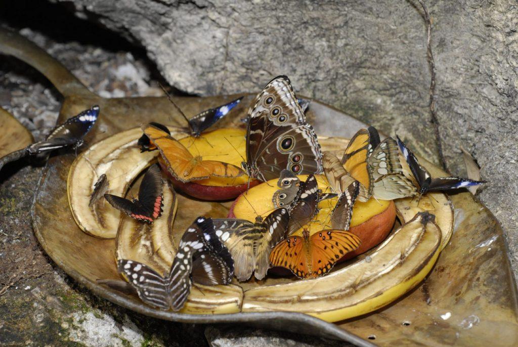 many butterflies feeding on a platter of fruit