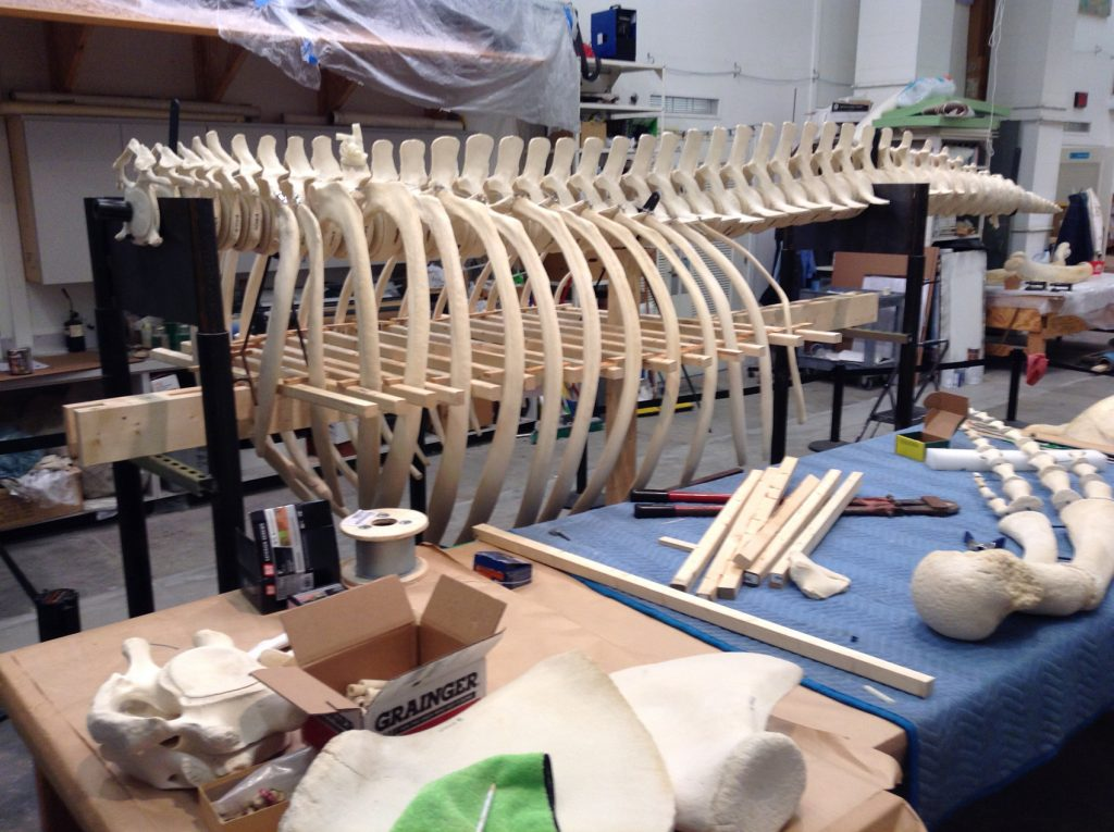 Humpback whale rib cage is set on a frame, more bones to complete the skeleton sit on a nearby table.