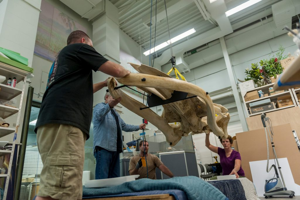 Four people carefully lower a whale skull onto a table