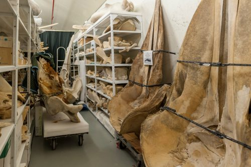 large bones in the Mammal Collection fill shelves.