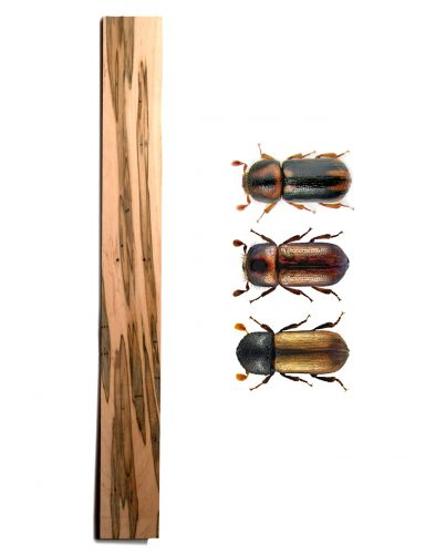 small holes scattered across the wood, some in lines of three. Three beetle with various shades of black, brown, and gold.