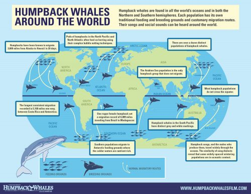 graphic showing where humpback whales can be found around the world