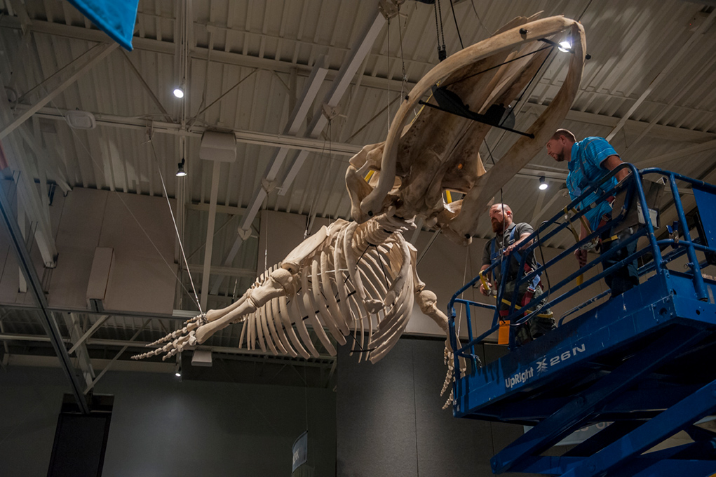 Two men stand on a scissor lift scaffolding in front of the hang the Juvenile humpback whale skeleton.