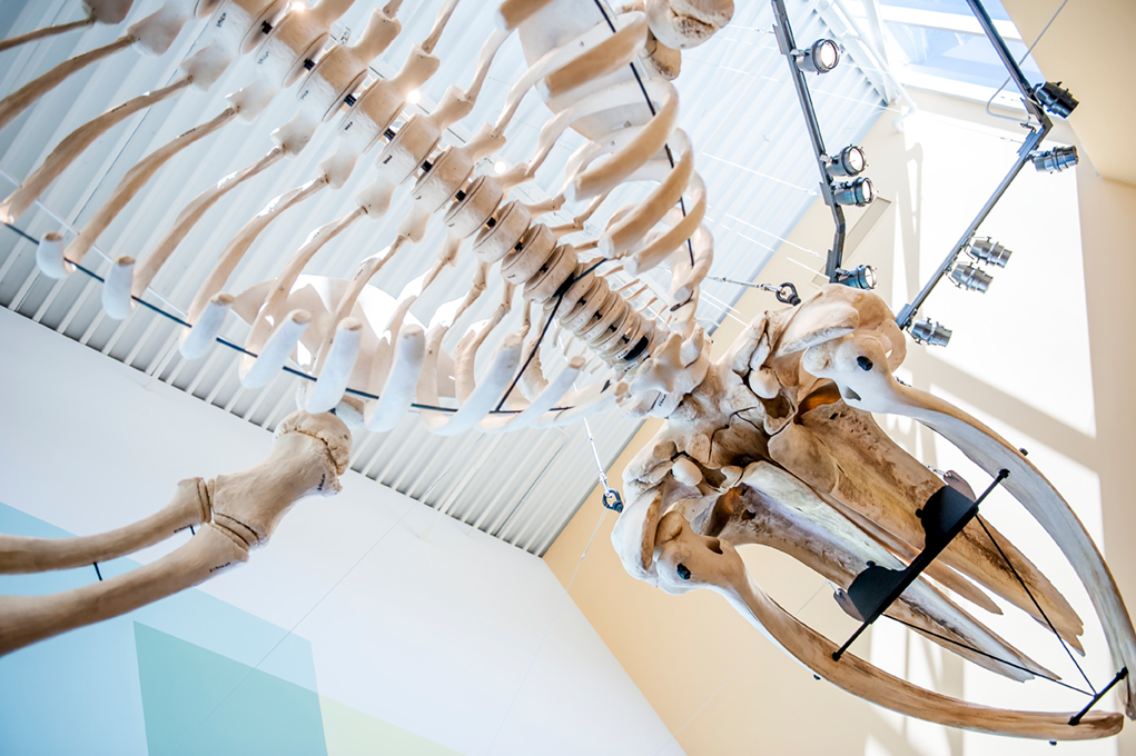 View from below looking up into the whale skull and rib cage.