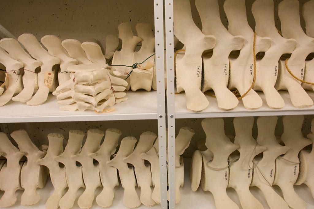 whale vertebrae stacked on shelves in