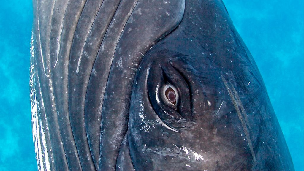 whale's eye looks directly at the camera