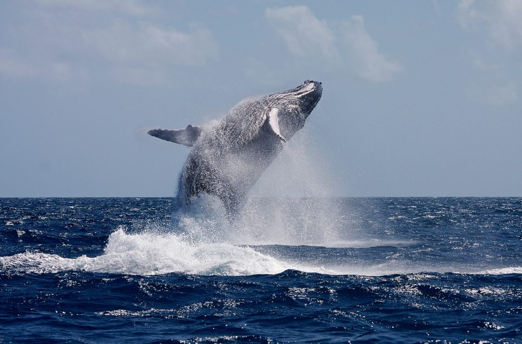 A Humpback whale rises out of the water.