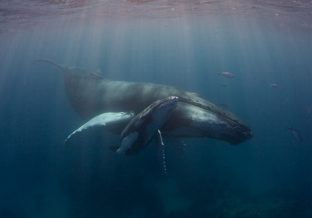 small whale calf swims alongside its mother