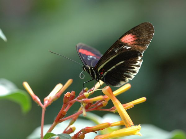 small dark butterfly with red stripes on a flower